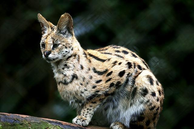 Mezi kočkovité šelmy nepatří jen lev a tygr