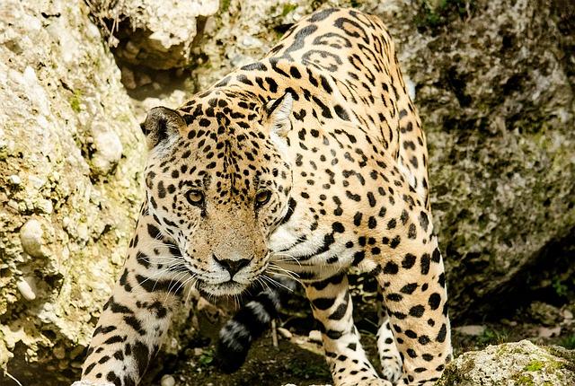 velký jaguar