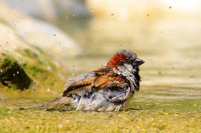 mokrý vrabec