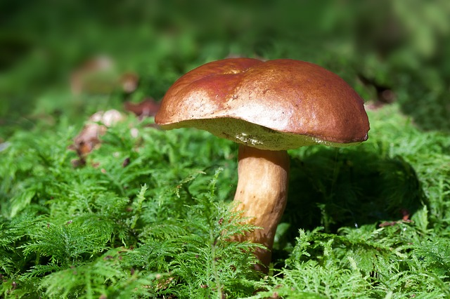 modrá houba